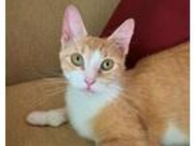 Adopt Gul a Domestic Short Hair, Extra-Toes Cat / Hemingway Polydactyl