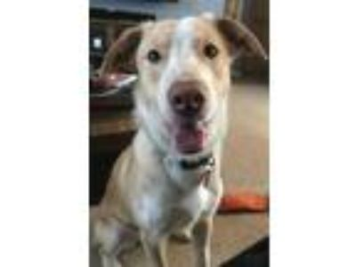 Adopt Bernard a Red/Golden/Orange/Chestnut Border Collie / Mixed dog in Bethany