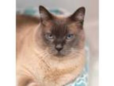Adopt Cloud a Gray or Blue Siamese / Domestic Shorthair / Mixed cat in Seattle