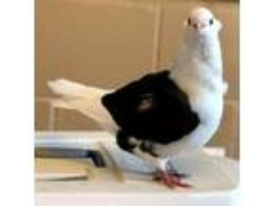 Adopt Hedwig a White Pigeon bird in Oakland, CA (25903767)