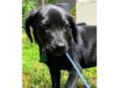 Adopt Antie a Labrador Retriever / Mixed dog in Clinton, SC (25492340)