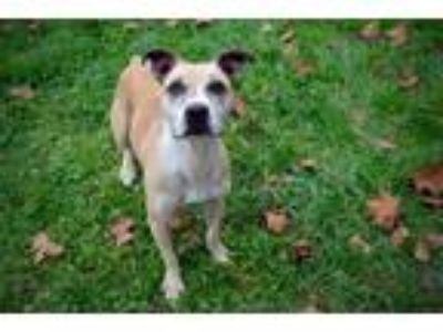 Adopt Marley a Pit Bull Terrier, Boxer
