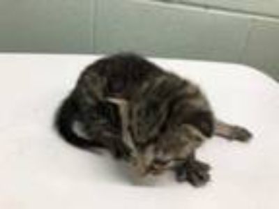 Adopt 42219256 a Gray or Blue Domestic Shorthair / Domestic Shorthair / Mixed