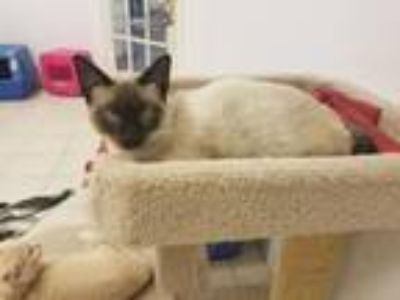 Adopt Neil a Brown or Chocolate Siamese / Mixed (short coat) cat in DFW