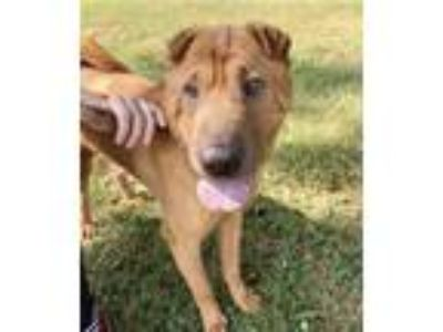 Adopt Rootbeer a Tan/Yellow/Fawn Shar Pei / Mixed dog in Queenstown