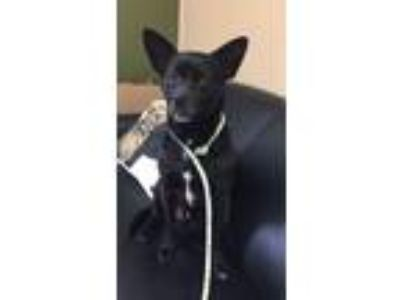 Adopt Lachlan a Black - with White Terrier (Unknown Type