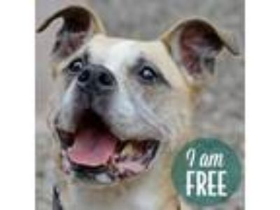 Adopt Dusty a Boxer / American Pit Bull Terrier / Mixed dog in Fairport