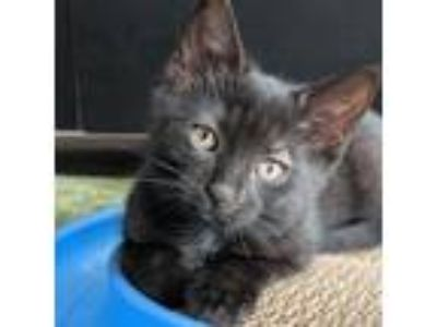 Adopt Daffodil a All Black Domestic Shorthair / Domestic Shorthair / Mixed cat