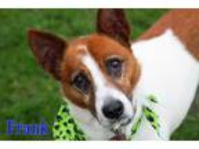 Adopt Frank a Tan/Yellow/Fawn - with White Jack Russell Terrier / Mixed dog in