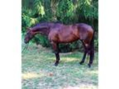 Make any offer Warmblood Hunter Broodmare