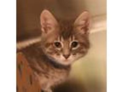 Adopt Perry a Domestic Shorthair / Mixed cat in Sioux City, IA (25645649)