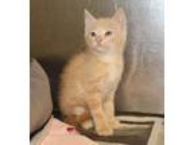 Adopt Bronston a Orange or Red Domestic Mediumhair (medium coat) cat in