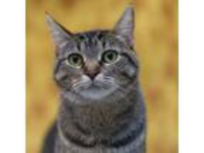 Adopt Sasha a Brown Tabby Domestic Shorthair (short coat) cat in Houston