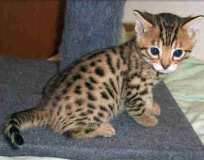 TICA Reg. Bengal Kittens on sale. (600.00)