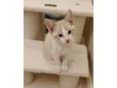 Adopt Manolito 04-4136 a Cream or Ivory (Mostly) Siamese / Mixed cat in Fremont