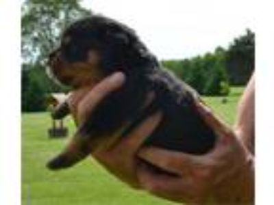 German Rottweiler Puppy For Sale