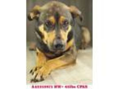 Adopt Alvin a Black Shepherd (Unknown Type) / Mixed dog in Shreveport