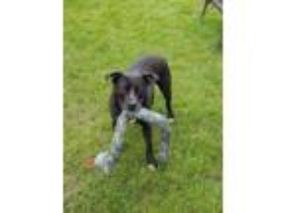 Adopt Blaine a Pit Bull Terrier, Labrador Retriever