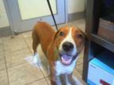 Adopt MAE MAE a Brown/Chocolate - with White Redbone Coonhound / Beagle / Mixed