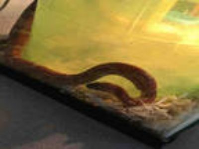 Adopt ALEXIS a Snake / Mixed reptile, amphibian, and/or fish in Plano
