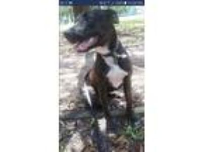 Adopt Reaper a Brindle - with White Australian Cattle Dog / Terrier (Unknown