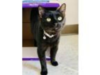 Adopt National Velvet a Domestic Short Hair