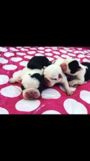 English Bulldog PUPPY FOR SALE ADN-53188 - AKC English Bulldog Puppies