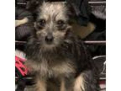 Adopt Livi a Yorkshire Terrier, Mixed Breed