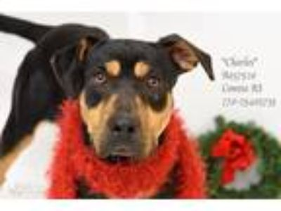 Adopt Charles a Black - with Tan, Yellow or Fawn Doberman Pinscher / Mixed dog