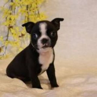 Missy Female Boston Terrier AKC