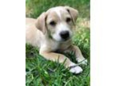 Adopt Lavon a Tan/Yellow/Fawn - with White Labrador Retriever / American Pit