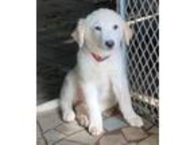 Adopt Danai a White Golden Retriever / Great Pyrenees / Mixed dog in Smyrna