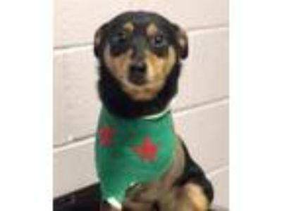 Adopt Pringle-BIO n VIDEO! (In a Foster Home) a Mixed Breed, Miniature Pinscher
