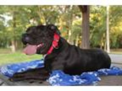 Adopt Rhonda- Guest Dog Program a Black Boxer / American Staffordshire Terrier /