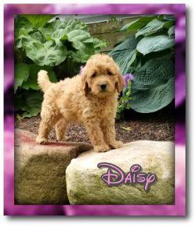 Daisy Female Goldendoodle