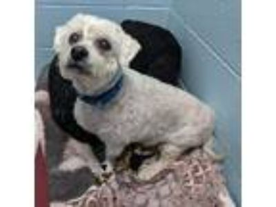 Adopt Duffy a White Shih Tzu / Poodle (Standard) / Mixed dog in Wheaton