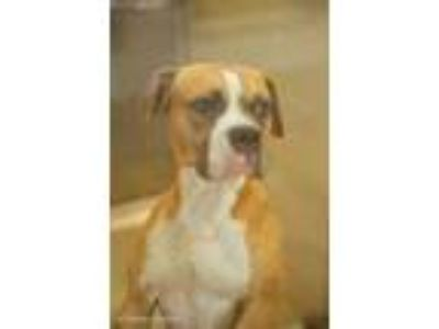 Adopt 41933479 a Tan/Yellow/Fawn Boxer / American Pit Bull Terrier / Mixed dog