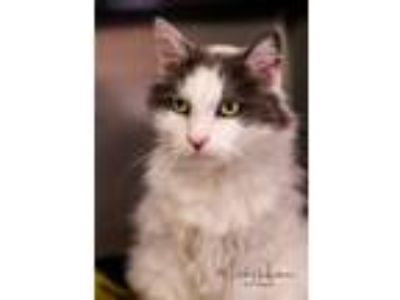Adopt Gladys a Domestic Long Hair