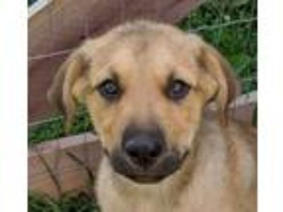 Adopt Tommy a Shepherd