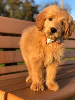 Goldendoodle PUPPY FOR SALE ADN-105329 - Alice F1Goldendoodle