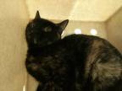 Adopt a Tortoiseshell Domestic Shorthair / Mixed (short coat) cat in Denver