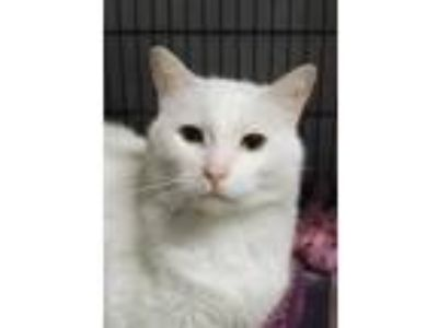 Adopt Marsh-a-Mallow a White Domestic Shorthair / Domestic Shorthair / Mixed cat