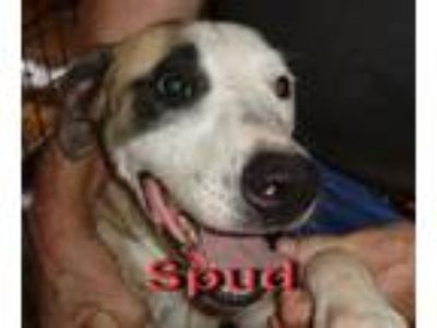 Adopt Spud a Pit Bull Terrier