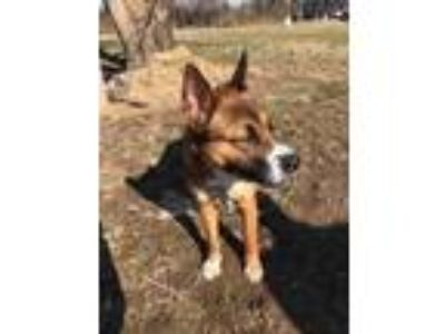 Adopt Millie a German Shepherd Dog, Boxer