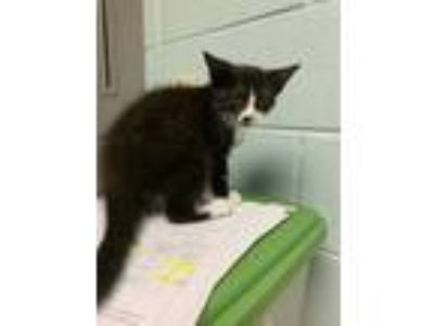 Adopt ASHITAKA a All Black Domestic Shorthair / Domestic Shorthair / Mixed cat
