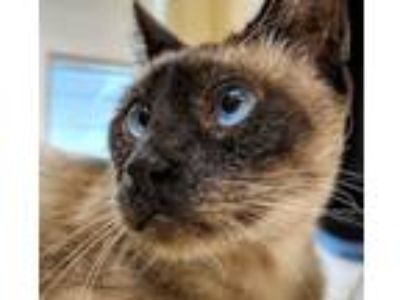 Adopt Woody a Siamese