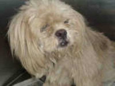 Adopt SNOWIE a White Mixed Breed (Medium) / Poodle (Miniature) / Mixed dog in