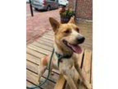 Adopt Penny a Australian Cattle Dog / Mixed dog in St. Charles, MO (25631399)