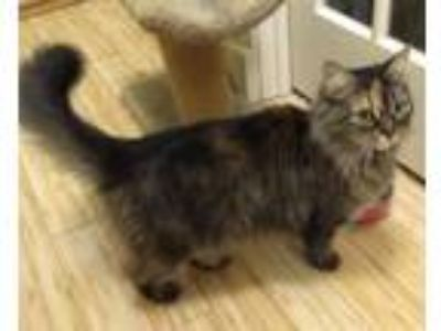 Adopt Missy a Brown Tabby Persian / Mixed (medium coat) cat in Mobile