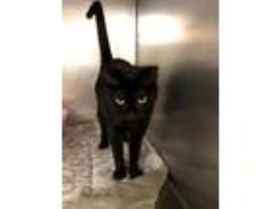 Adopt CHAI a All Black Domestic Shorthair / Domestic Shorthair / Mixed cat in